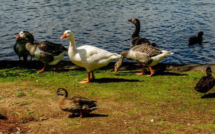 بعض سكان حديقة Western Springs في أوكلاند :)