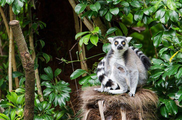 Ring-Tailed Lemur أحد الفصائل المحمية في حديقة أوكلاند