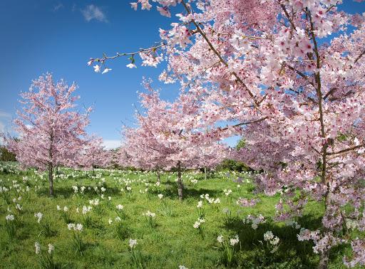 أشجار الكرز المزهرة في الحديقة أثناء فصل الربيع